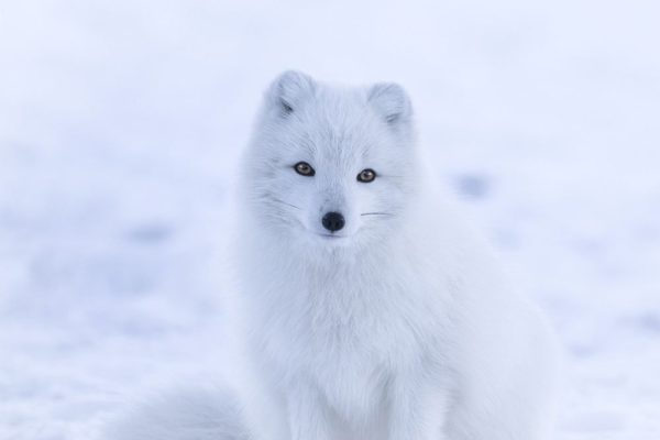 white-fox-snow